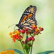 Butterfly on milkweed.