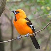 Orange oriole bird on branch.