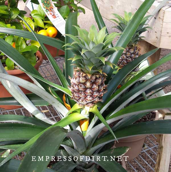 Pineapple plant with fruit.