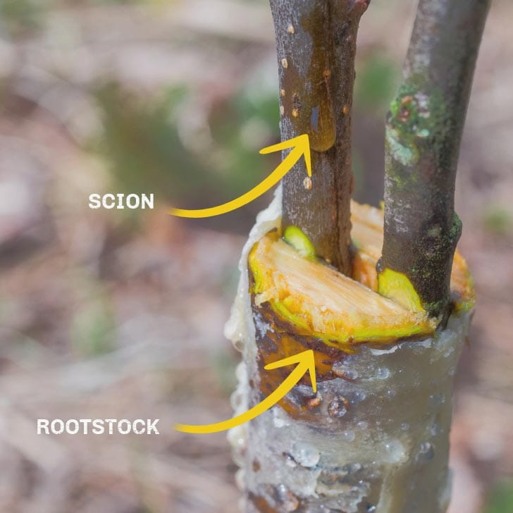 Example of plant grafting with two scions and one rootstock.