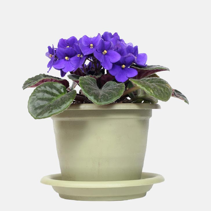 African violet plant with purple flowers in flower pot with saucer.
