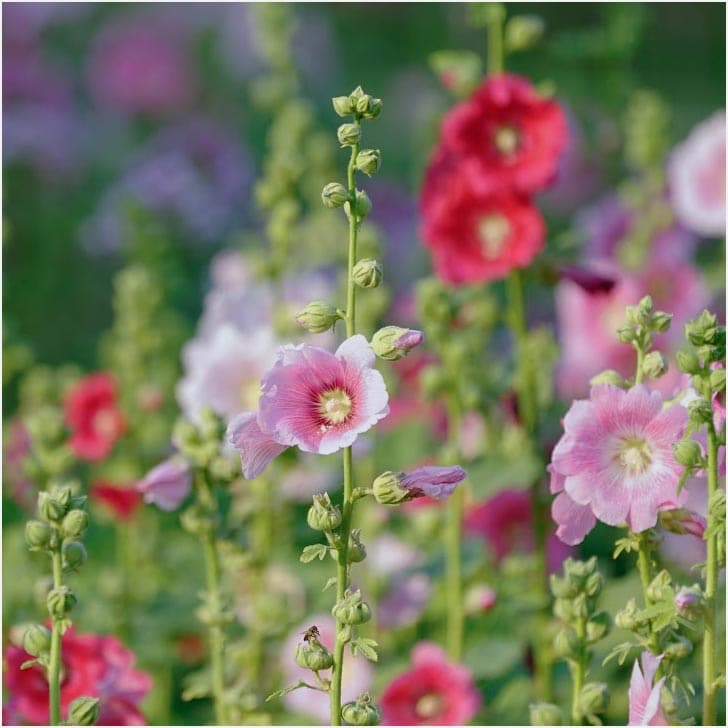 Pink and red hollyhock flowers in the garden.