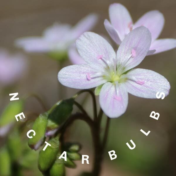 Claytonia is an example of a spring flowering bulb that provides nectar for pollinators.