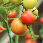 Red tomatoes ripening on vine.
