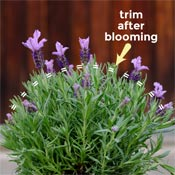 Diagram showing how to trim tropical lavender