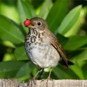 Bird with berry in its beak.