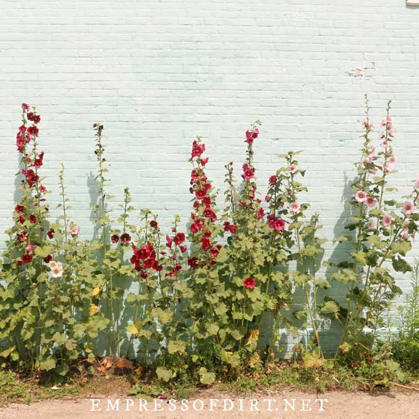 Hollyhocks growing in an alley way.