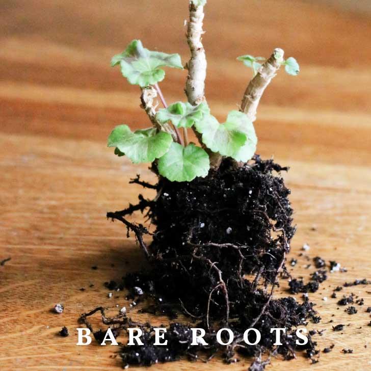 Geranium plant roots for winter storage.
