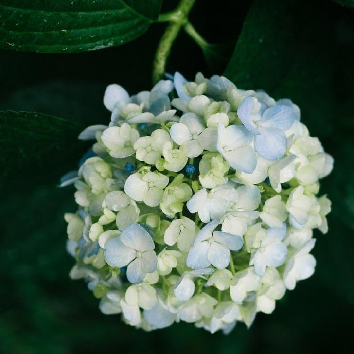 Large round white hydrangea flower.