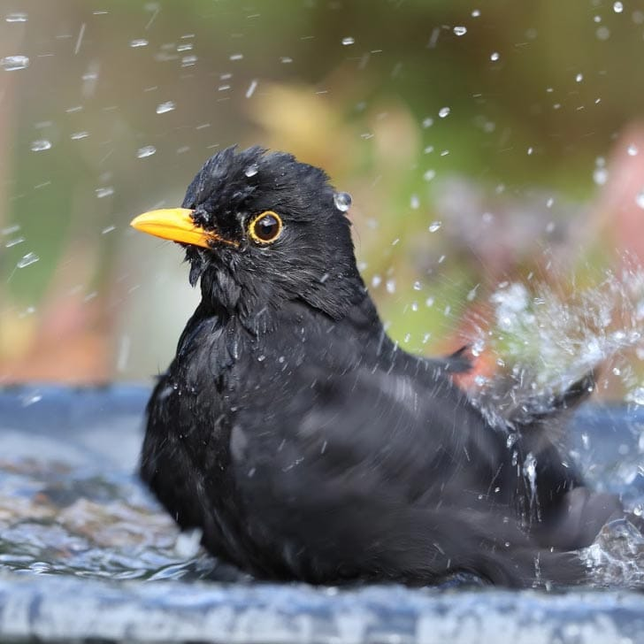 Blackbird bathing in backyard bird bath.