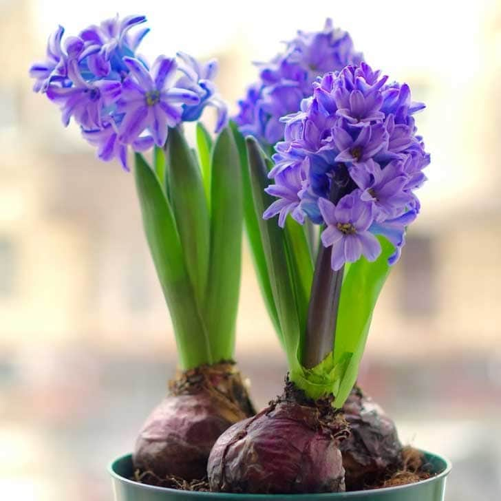 Hyacinths blooming indoors.