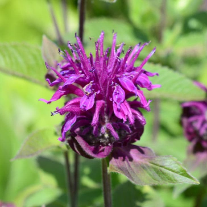Purple bee balm (monarda) flower.