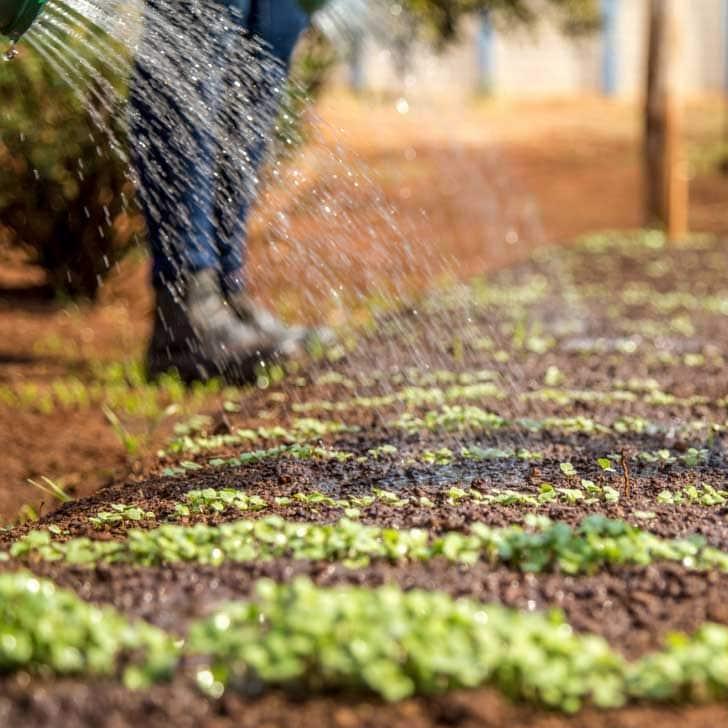 Watering a new no-dig vegetable garden.