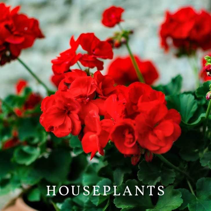 Geranium plants to grow as houseplants.
