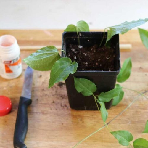 Taking cuttings from clematis to propagate.