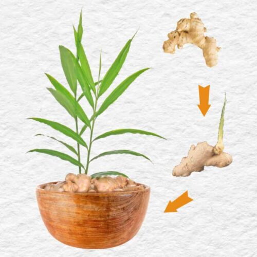 Ginger root and a ginger plant in a pot.