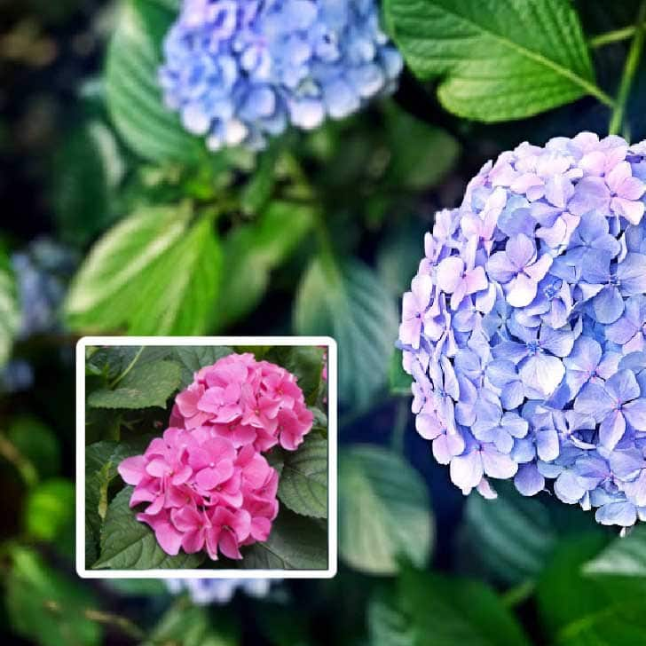 Blue and pink hydrangea flowers.