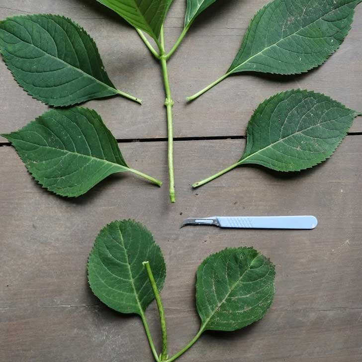 Propagating hydrangea using a stem cutting.