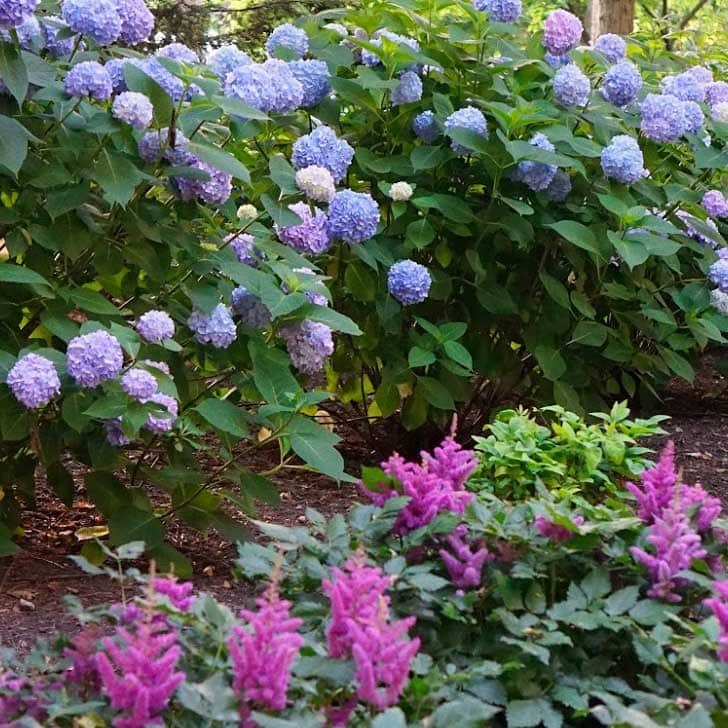 Hydrangea shrubs with blue and pink flowers.