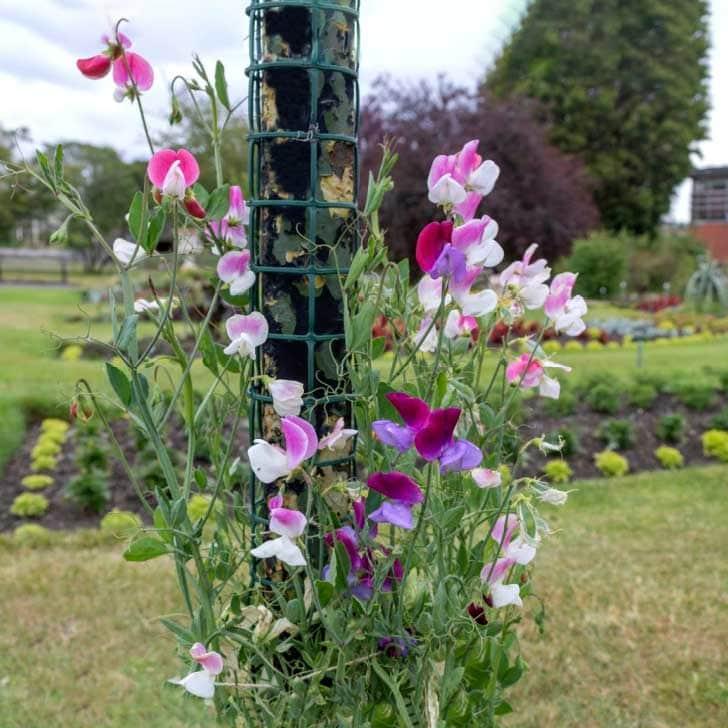 Sweet pea flowers in the garden.