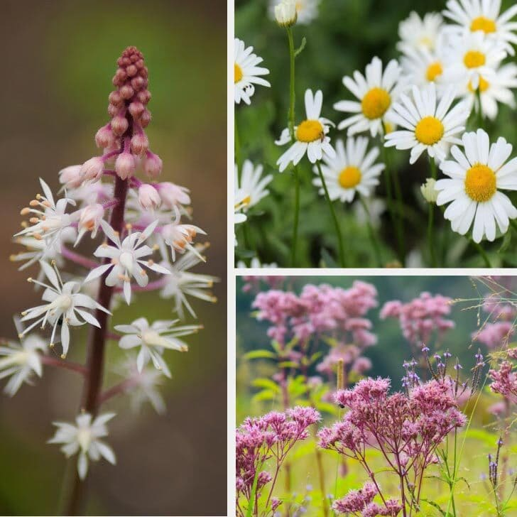 Examples of long-lasting perennial flowers including daisy, foamflower, and Joe pye weed.