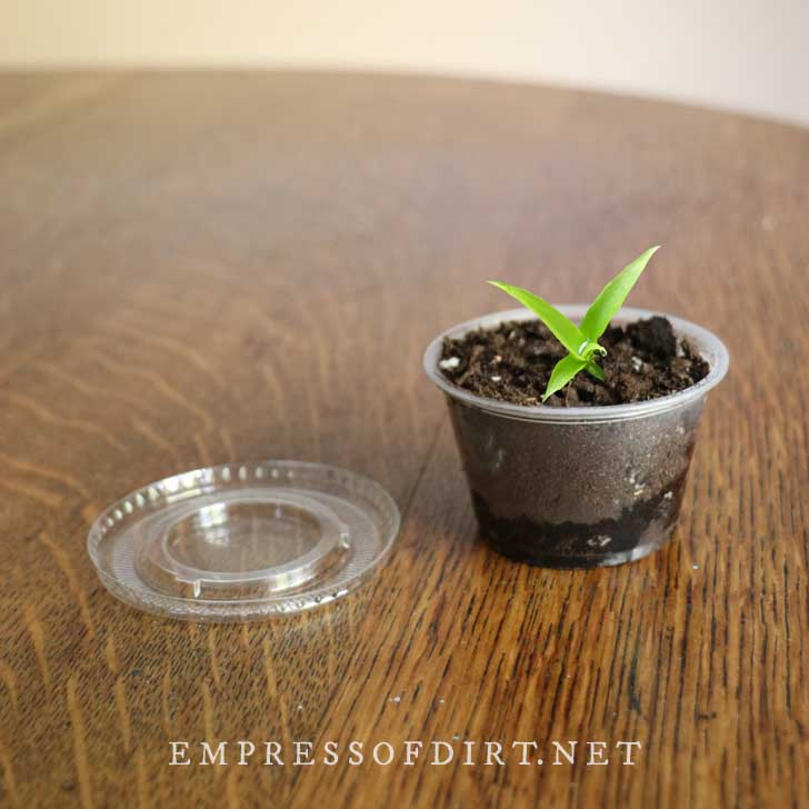 Pineapple seedling in a small plastic cup.
