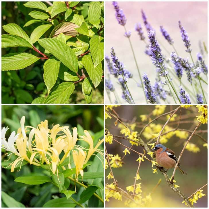 Plants to grow from softwood cuttings including lavender and forsythia.