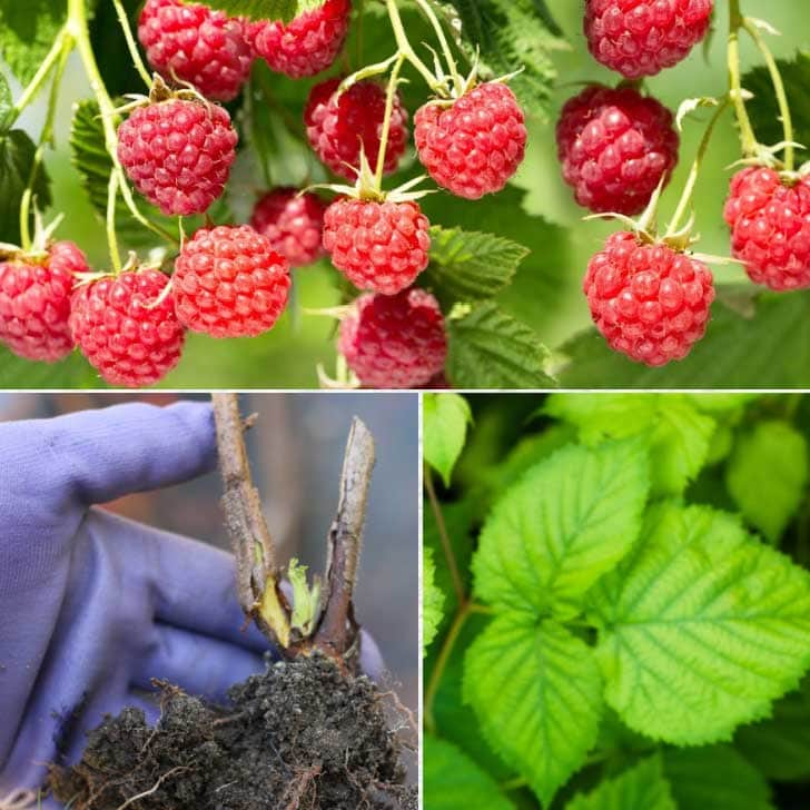 Transplanting raspberries in the garden: raspberry bushes and shovel.