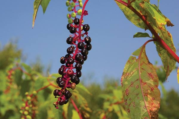 Pokeweed berries | Did you know some popular and common garden plants produce poisonous berries. While some are midly toxic, others can be fatal if ingested. Find out which ones you should look out for! These berries are featured in the new book, Good Berry Bad Berry by Helen Yoest.