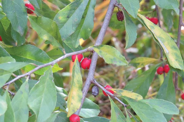 Winterberry holly berries | Did you know some popular and common garden plants produce poisonous berries. While some are midly toxic, others can be fatal if ingested. Find out which ones you should look out for! These berries are featured in the new book, Good Berry Bad Berry by Helen Yoest.