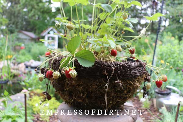 Hanging basket with ripe strawberries.