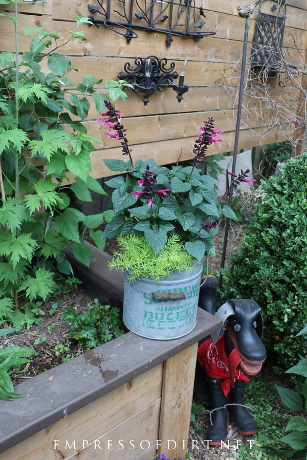 Old bucket filled with salvia spikes and asparagus fern.