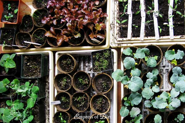 How to start seeds indoors - save money and grow whatever you like! See these frugal tips for starting fruit, vegetables, flowering annuals and perennials for your home garden.