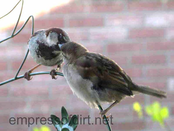 Mama sparrow is feeding her baby.