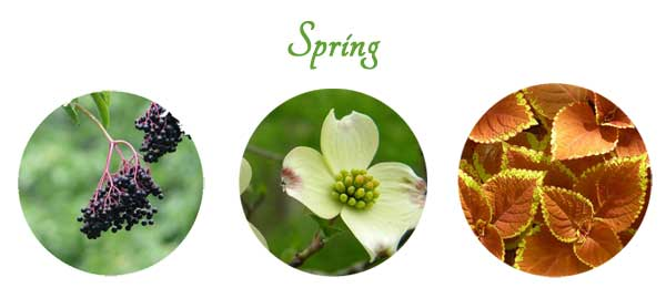 Plants to propagate from softwood cuttings in spring.