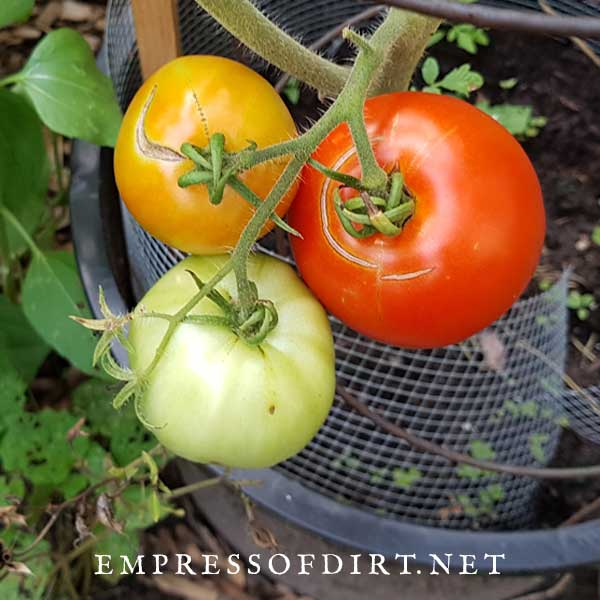 Tomatoes growing on a vine: red, green, and orange.