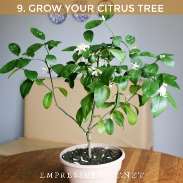 Grafted lemon tree in a pot with flowers and fruit forming.
