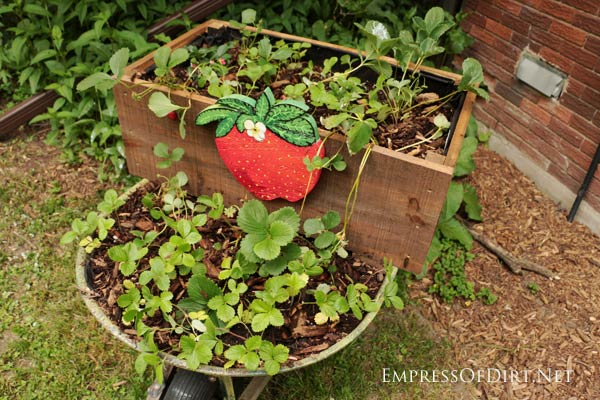 Turn an old wheelbarrow into a rolling strawberry planter!