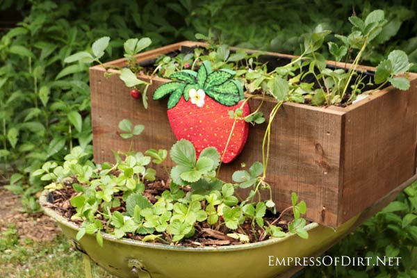 An old wheelbarrow makes a perfect stand for planting strawberries in containers. This rolling planter can be moved around, depending on whether the plants need shade or sun on any given day. Add a hand-painted strawberry sign for a cute touch.