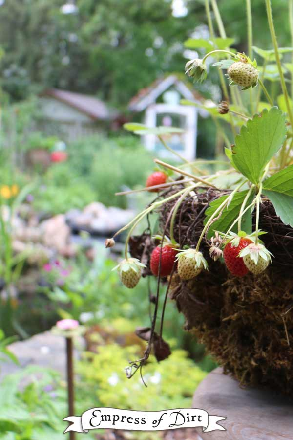 Moss covered hanging basket with strawberry plants