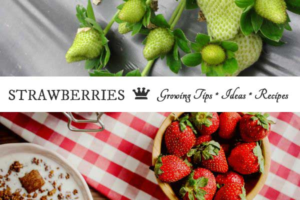 Love Strawberries? 20 Top Growing Tips, Ideas and Recipes