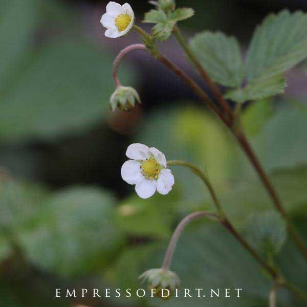 White strawberry plant flowers.