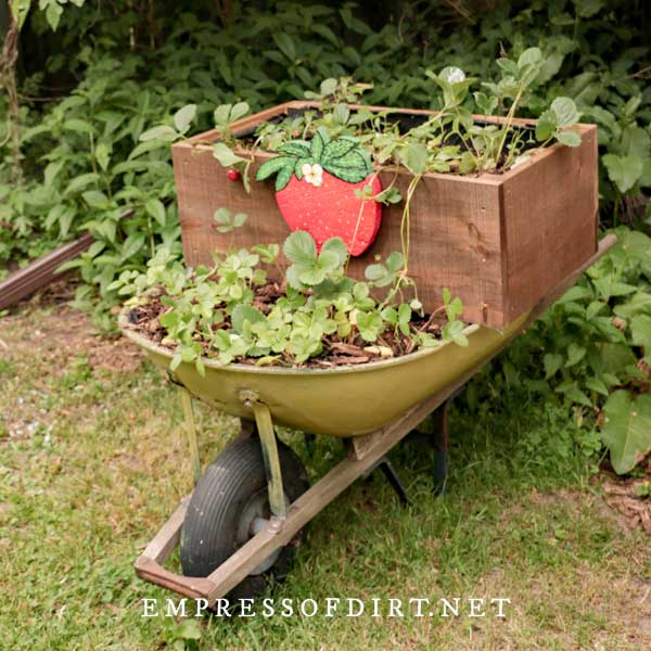 Old wheelbarrow repurposed as strawberry planter.