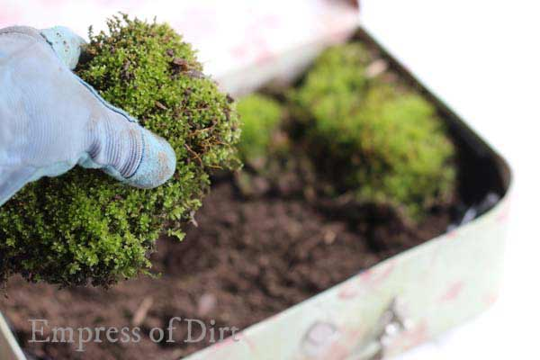 Gloved hand placing moss in vintage suitcase for fairy garden.
