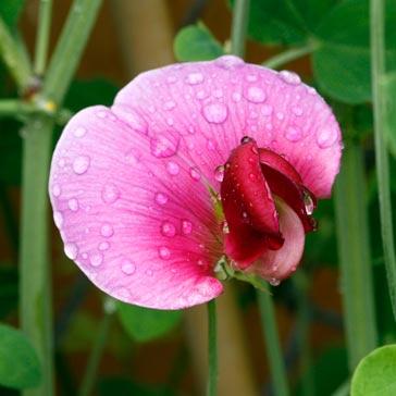 Pink sweet pea flower.