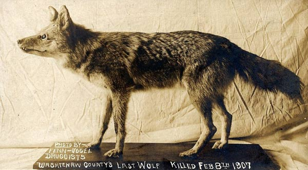 Taxidermied wolf | How cool would it be to find a dinosaur, prehistoric wolf, or mammoth bones while digging in the garden? This collection of stories shows some incredible discoveries of bones in backyards.