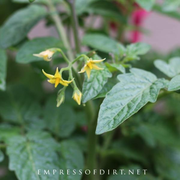 Yellow flowers on tomato plant.