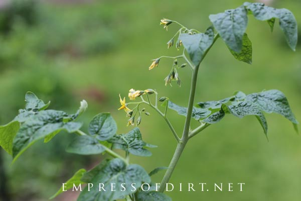 These yellow flowers will become tomatoes in a few weeks.