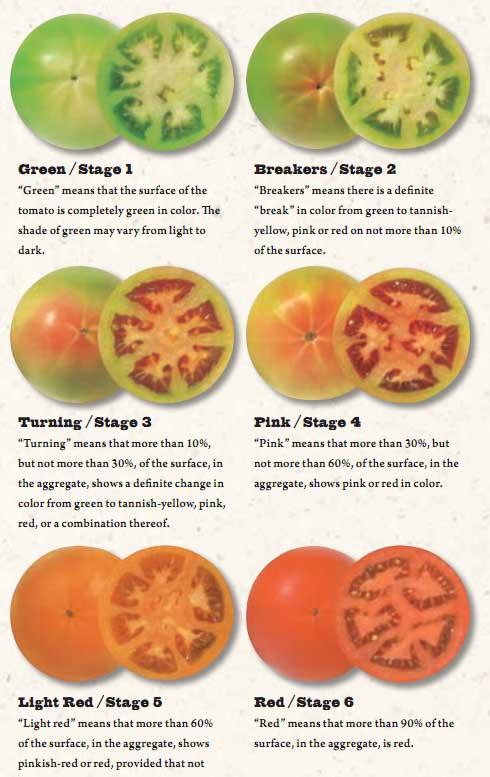 Tomato ripening stages from green to red illustrated with images of tomato colors.