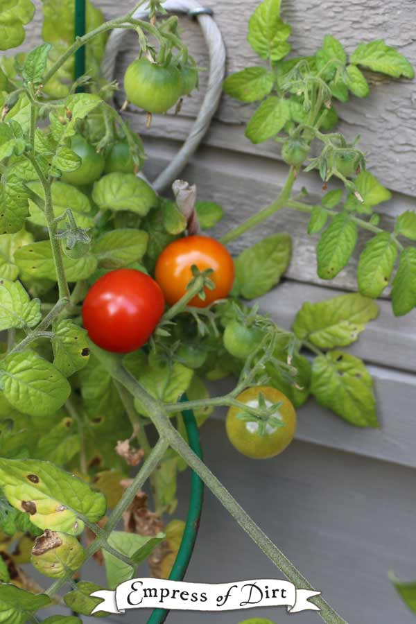 Heirloom and other open-pollinated tomato seeds can be saved for sowing in the future